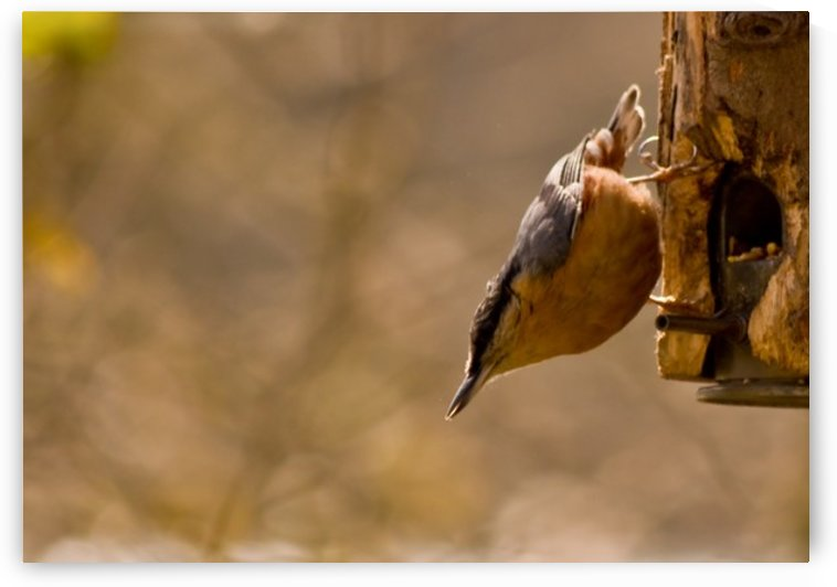 Nuthatch on the feeder by Tede