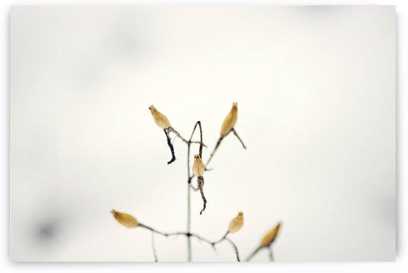 Snow plant by Marko Radovanovic