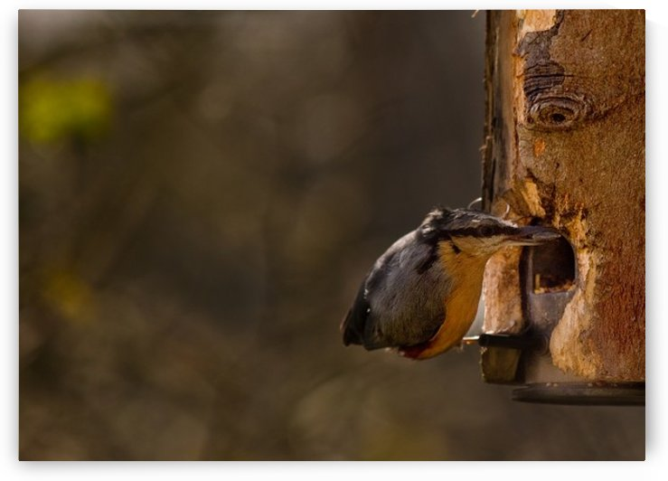 Nuthatch feeding by Tede