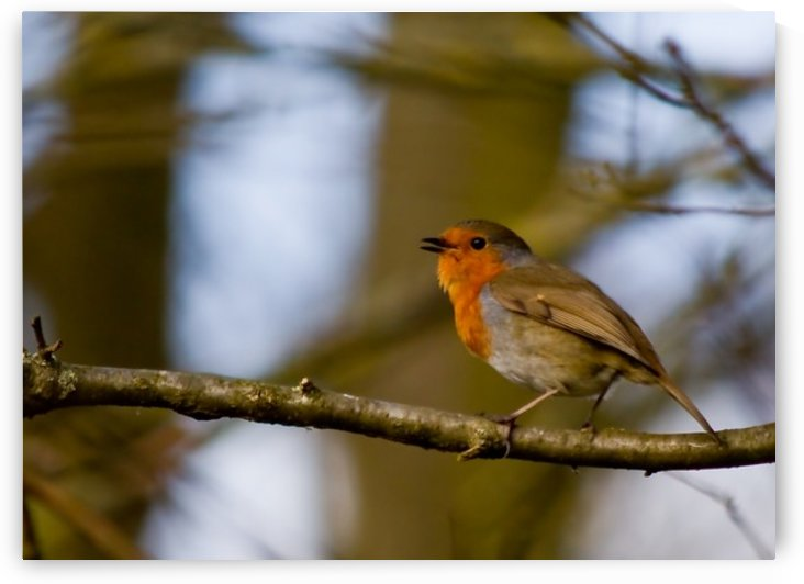 Robin by Tede