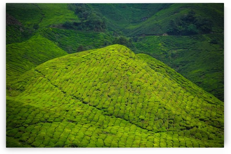 Tea plantations by Jure Brkinjac