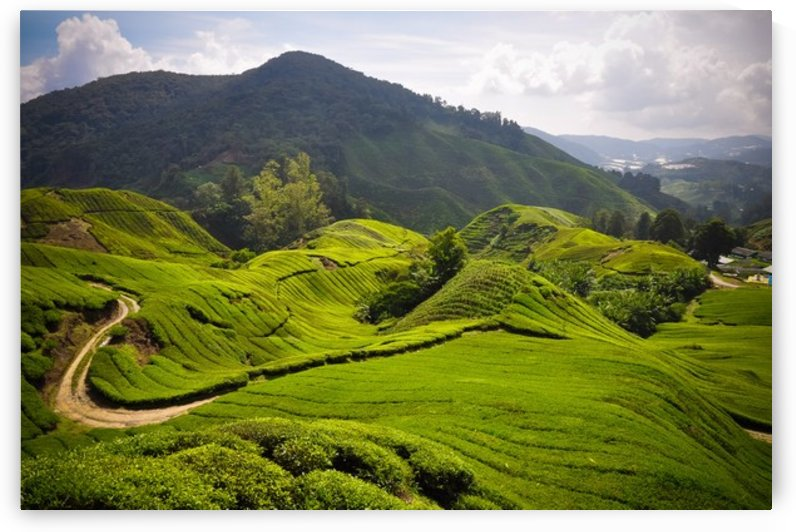 Tea plantations, Malaysia by Jure Brkinjac