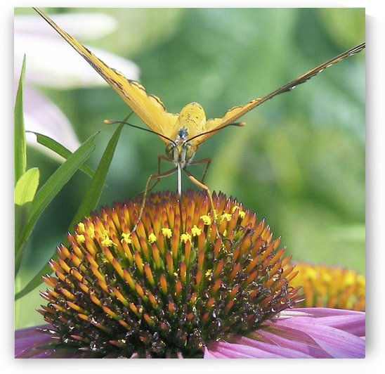 Butterfly on cone flower by Jackie Popp