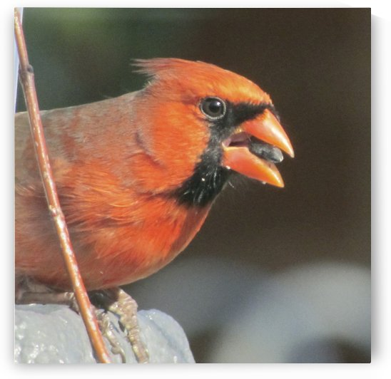 Male Northern Cardnial by Jackie Popp