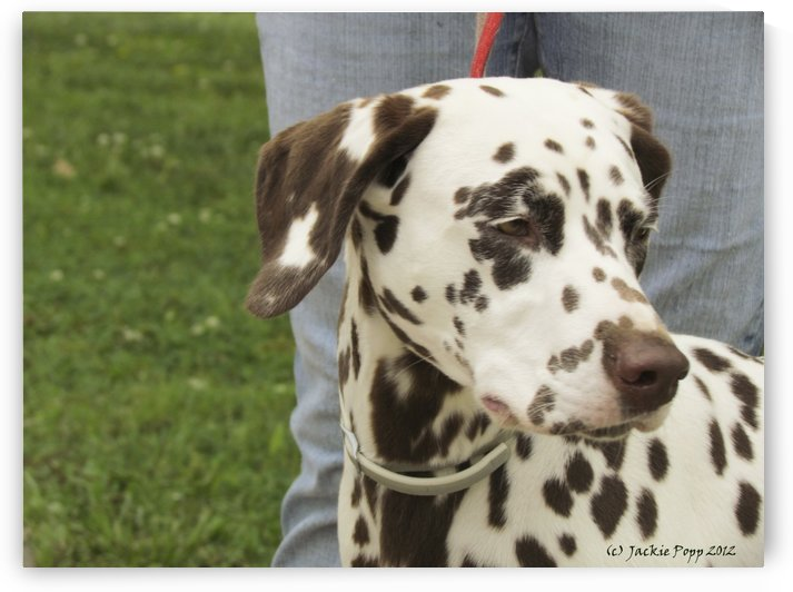 A Dalmation by Jackie Popp