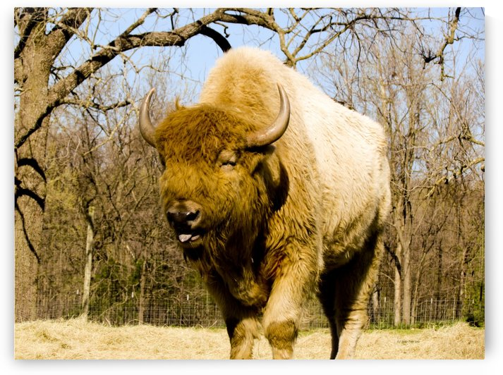 American Bison by Jackie Popp