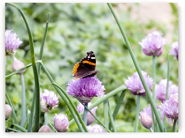 American Painted Lady on clover by Jackie Popp