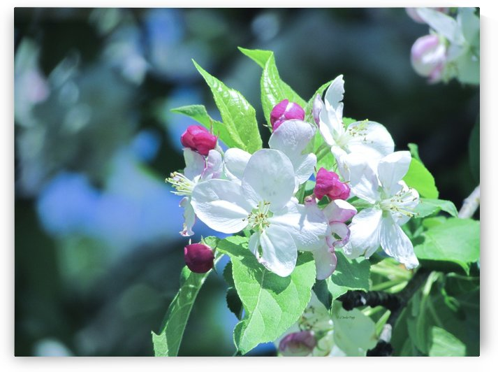 apple blossoms by Jackie Popp