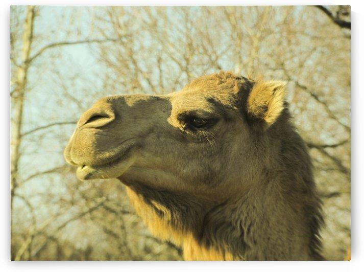 Aribian Camel by Jackie Popp