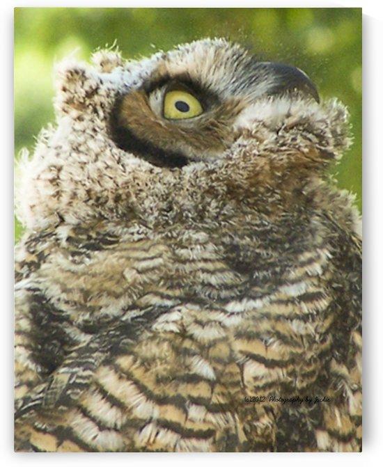 baby owl by Jackie Popp