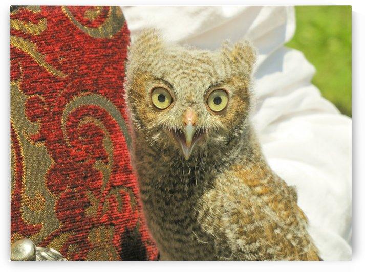 baby screech owl by Jackie Popp