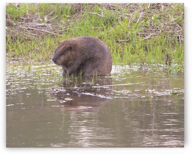 beaver by Jackie Popp