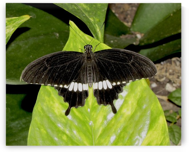 black and white butterfly by Jackie Popp