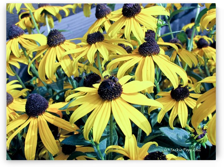 Black eyed susans by Jackie Popp