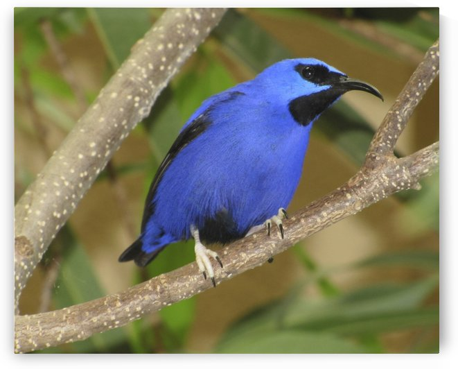 Blue finch by Jackie Popp