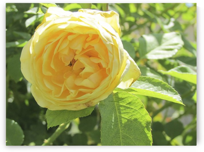 Bug my yellow rose by Jackie Popp