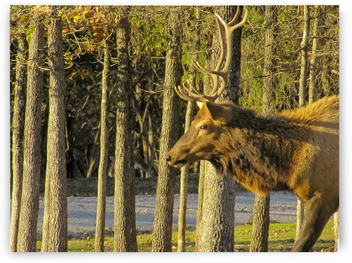 Elk male by Jackie Popp