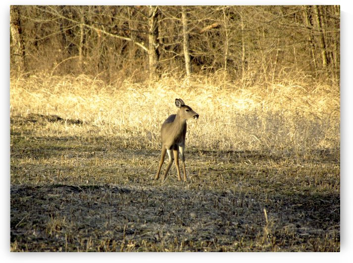 female deer fall colors by Jackie Popp