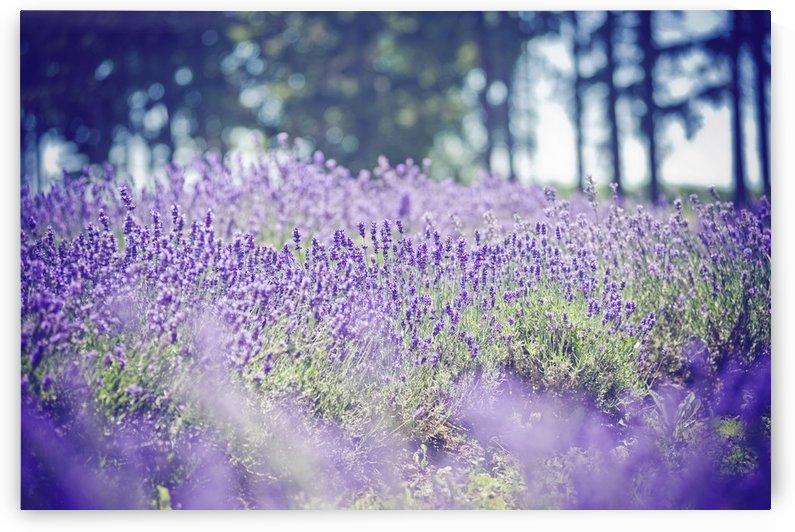 Lavender Fields by Christopher Dormoy