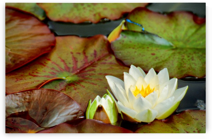 WHITE WATERLILIES 1 by Jean-Jacques MASSOU