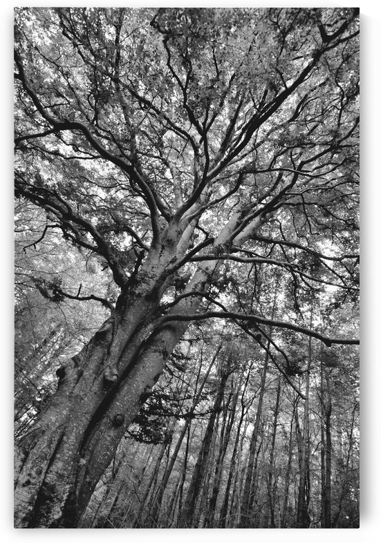 TREE 13BW by Jean-Jacques MASSOU