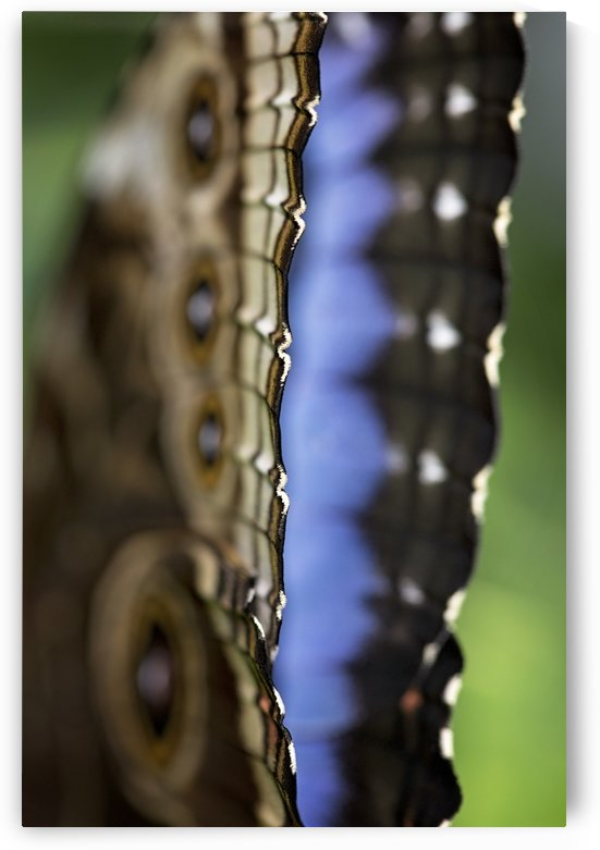 Blue Morpho by Marie-Claude Berard