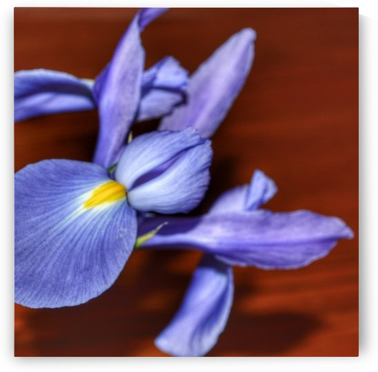Blue Iris by Digitalu Photography