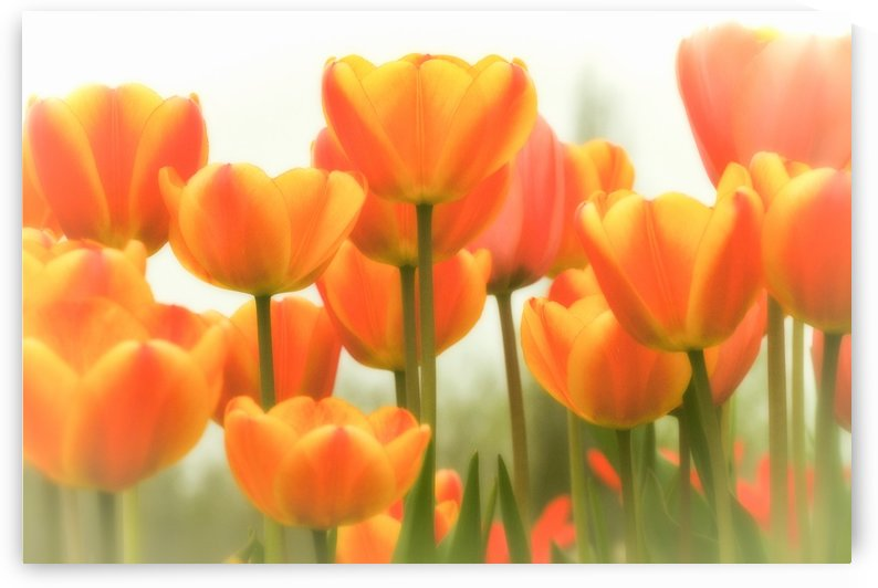 Hazy Spring Tulips  by Michel Nadeau