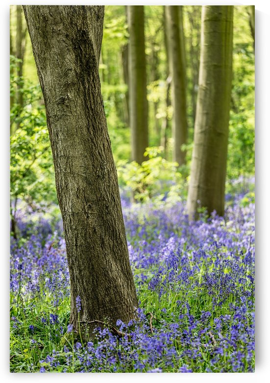 Bluebell Wood by Keith Truman