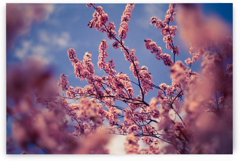 Spring cherry flowers by Levente Bodo