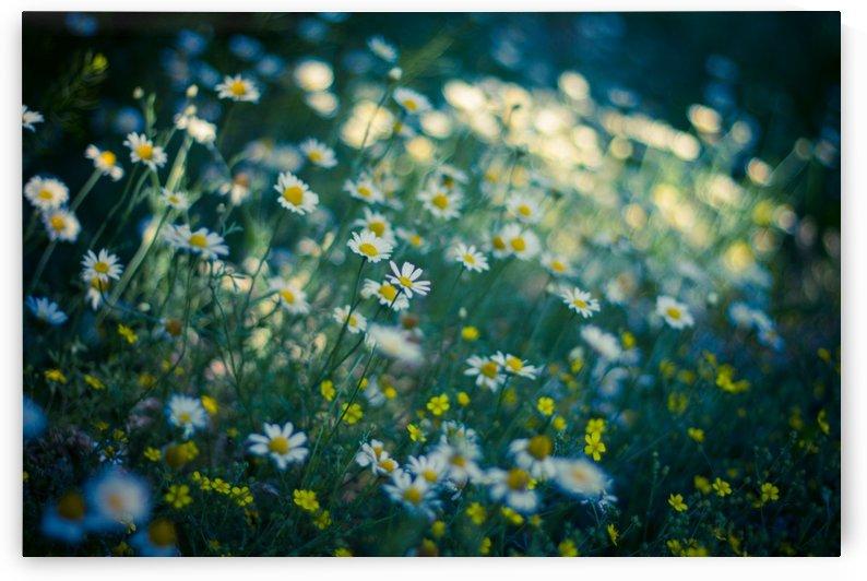 Summer, spring daisy field by Levente Bodo