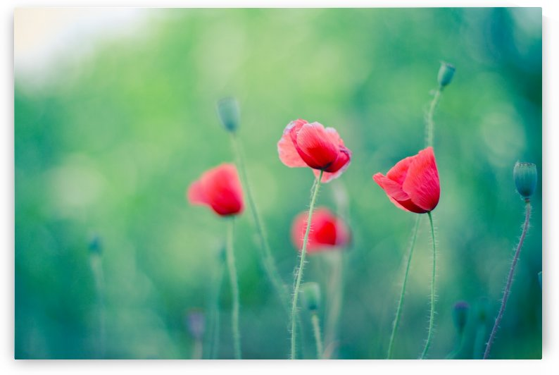 Summer poppy flowers by Levente Bodo