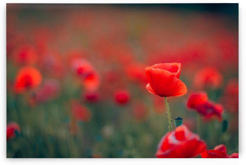 Beautiful Sunset poppy flowers by Levente Bodo