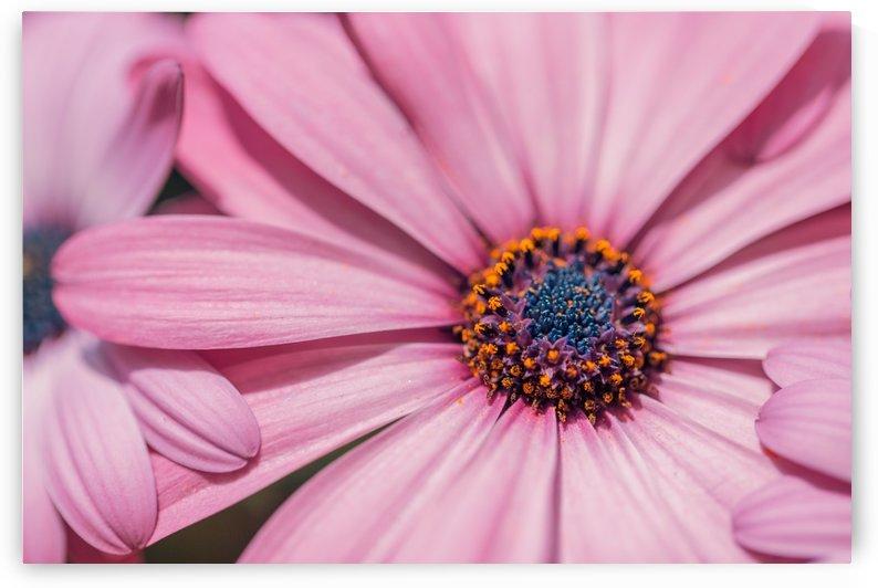 Gerbera flower background by Levente Bodo