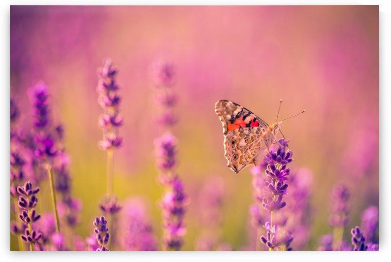 Beautiful Sunset lavender flowers by Levente Bodo