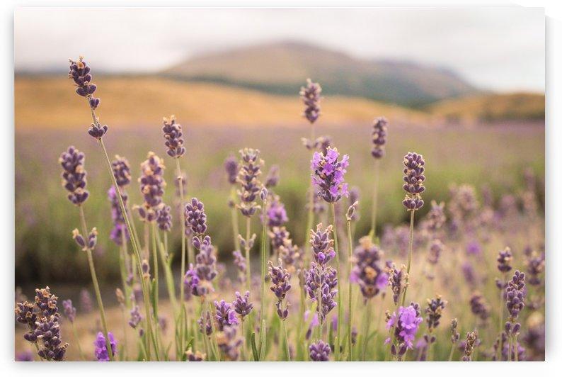 Lavender Fields by Danielle Farrell