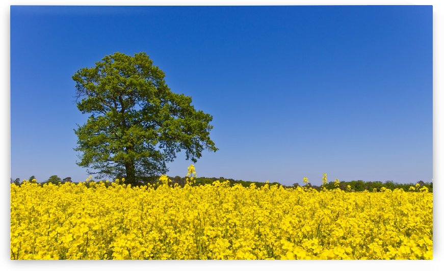 Flowery Field by Fergus Maitland