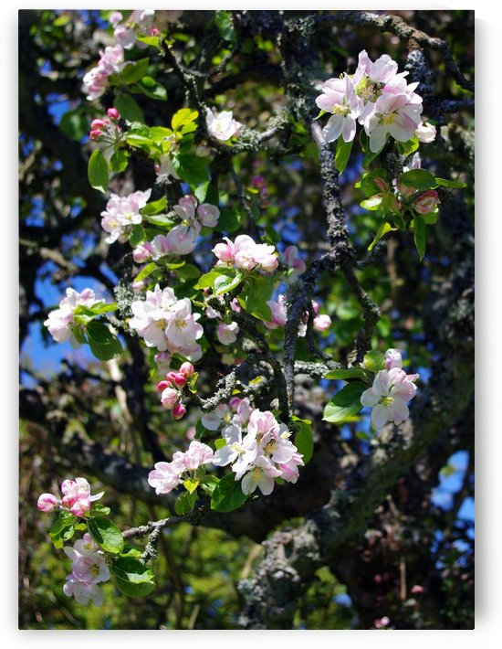 Apple Blossom by Fergus Maitland