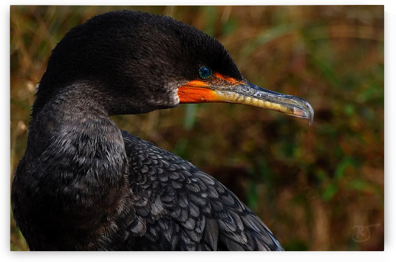 Cormorant by Richard and Barbara Jones