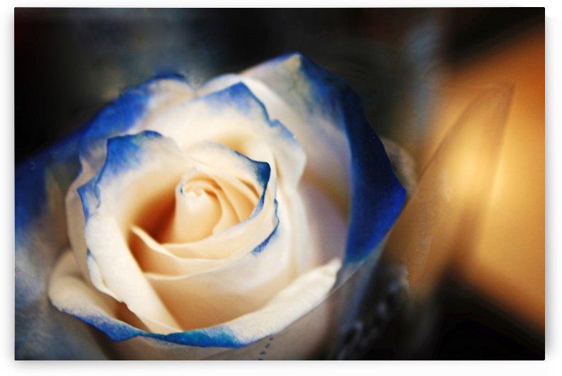 Blue Tip Rose by Don  Baker