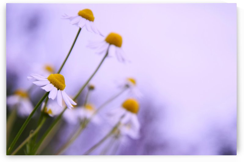 Chamomile in spring by Codrina Miculit