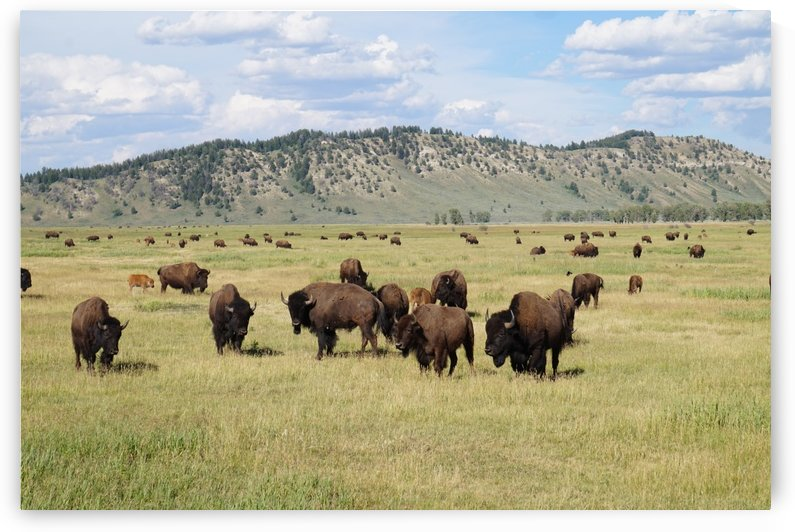 Bison Fields by Phano Smith