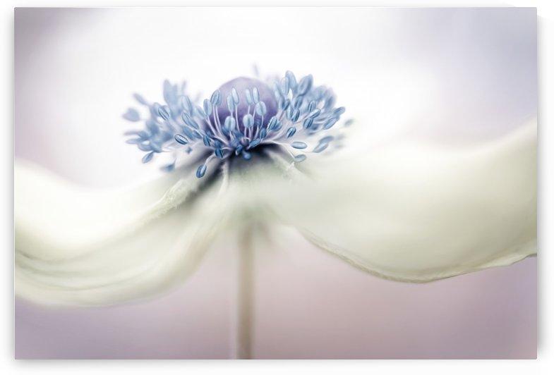 Anemone by 1x