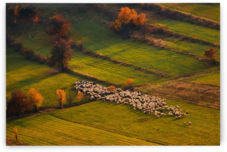 Sheep herd at sunset by 1x