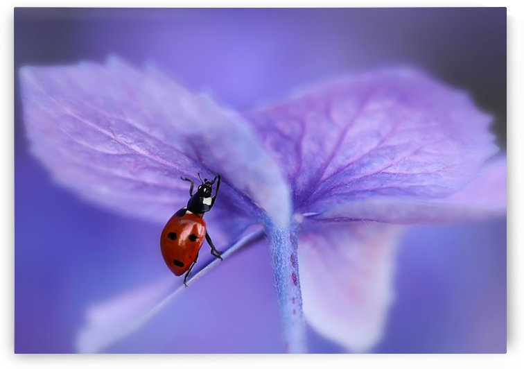 Ladybird on purple hydrangea by 1x