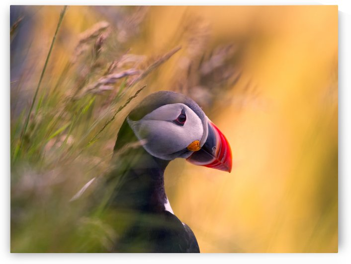 Resting Puffin by 1x