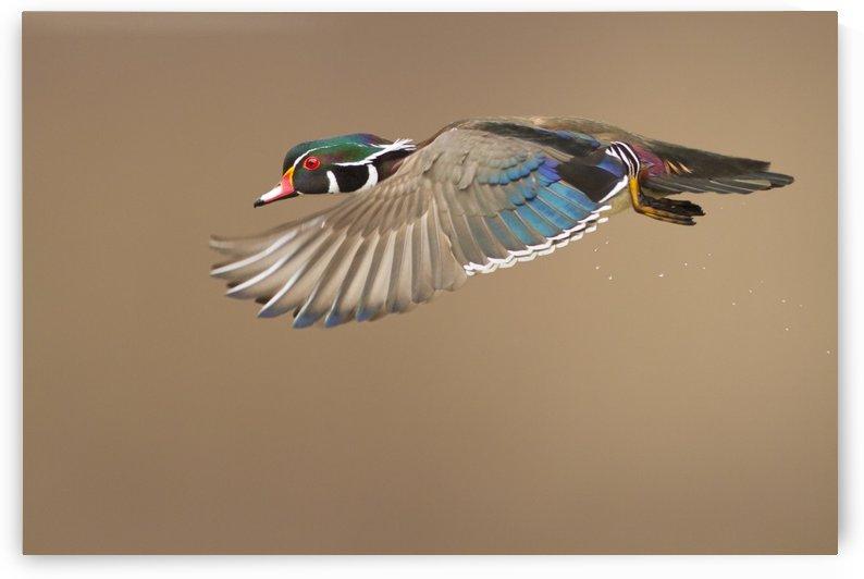 Wood Duck by 1x