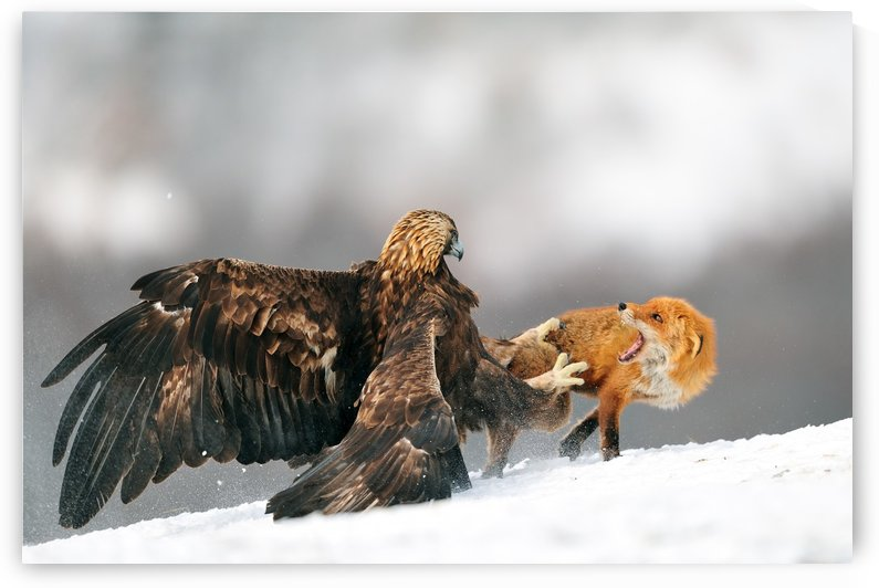 Golden eagle and Red fox by 1x
