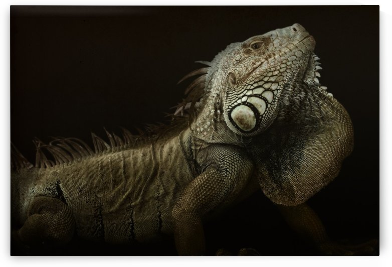 Iguana profile by 1x