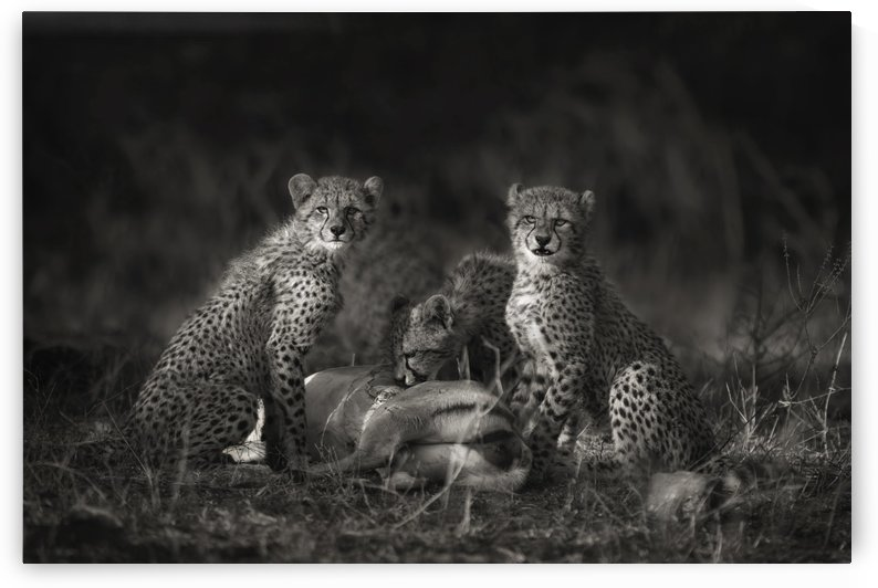 Cheetah Cubs by 1x